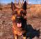 Fallout 4's Dogmeat Companion